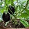 پرورش بادمجان گلخانه ای