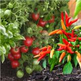 نکات کاشت گوجه فرنگی و فلفل