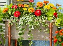 کاشت و نگهداری گل آهار در گلدان