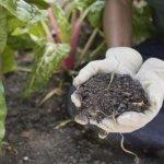 خاک مناسب برای کاشت کلم بروکلی چینی