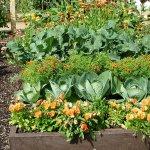 کاشت سبزیجات در نزدیکی کلم بروکلی