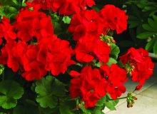 کاشت گل شمعدانی