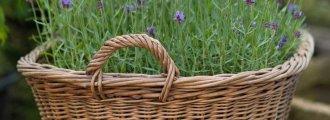 کاشت اسطوخودوس در گلدان