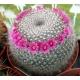 بذر کاکتوس Mammillaria hahniana