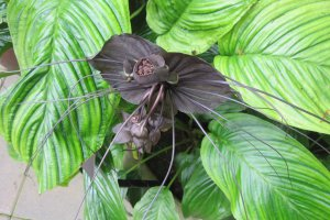 کاشت گل خفاش سیاه
