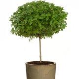 درست کردن درخت ریحان