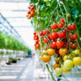 کشت گلخانهای گوجه فرنگی