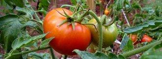 آموزش کاشت گوجهفرنگی