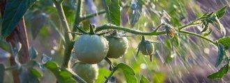 نحوه آبیاری گوجه فرنگی