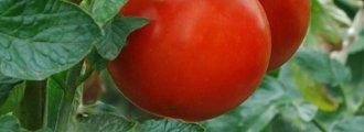 تکثیر گوجه فرنگی با قلمه