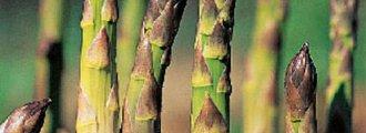 کاشت مارچوبه در گلدان