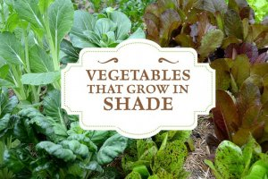 سبزیجات سایه دوست