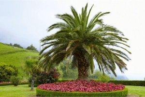 کاشت نخل جزایر قناری