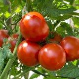 میانگین برداشت گوجهفرنگی