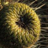 کاشت میوه کوپایو