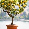 کاشت درخت لیمو در گلدان
