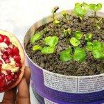 کاشت دانه انار