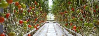 میانگین برداشت گوجه فرنگی در کشت هیدروپونیک