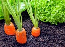 مشکلات رایج در کاشت هویج