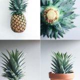 کاشت آناناس