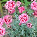 کاشت گل میخک