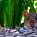 از بین بردن موشهای باغ با روش ارگانیک