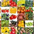 مدت زمان برداشت گوجهفرنگی