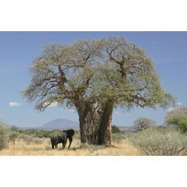 بذر درخت آدانسونیا دیجیتاتا