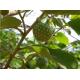 بذر درخت کاستارد اپل آفریقایی