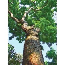 بذر درخت بلسان بنفش هندی