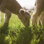 استفاده از کود گوسفندی برای بوته بلوبری