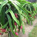 آفات گیاه میوه اژدها