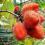کاشت بذر میوه آناتو