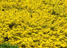 کاشت بذر درخت گل طاووسی
