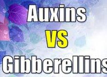 تفاوت هورمون اکسین و جیبرلین
