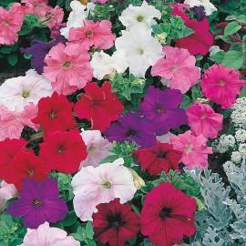 بذر گل اطلسی رنگ مخلوط