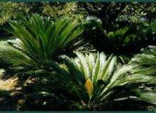 کاشت بذر نخل سیکاس