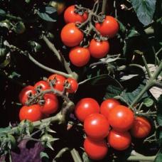 بذر گوجه فرنگی گیلاسی واشنگتن ارگانیک
