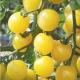 بذر گوجه فرنگی گیلاسی زرد ارگانیک