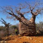 کاشت درخت آدانسونیا فونی