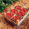 بذر توت فرنگی ساریان (F1)