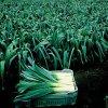 بذر تره فرنگی پاندورا ارگانیک