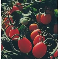 بذر گوجه فرنگی زیتون شیرین F1