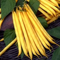 بذر لوبیا طلایی