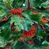 بذر درخت استنوکارپوس