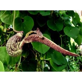 بذر گل پیپ هلندی رینجنز