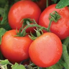 بذر گوجه فرنگی مبارز PHR F1 ارگانیک