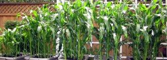 کاشت و پرورش ذرت در گلدان