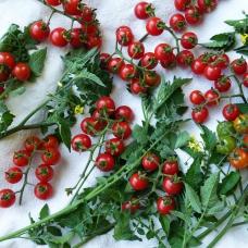 بذر گوجه فرنگی گیلاس وحشی