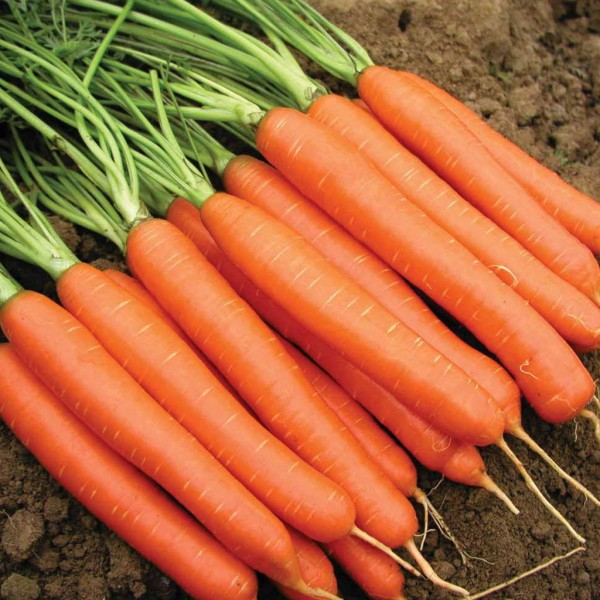 بذر هویج Nantes 2